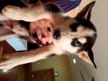 White And Black Siberian Husky Puppies Are For Sale In East Sussex
