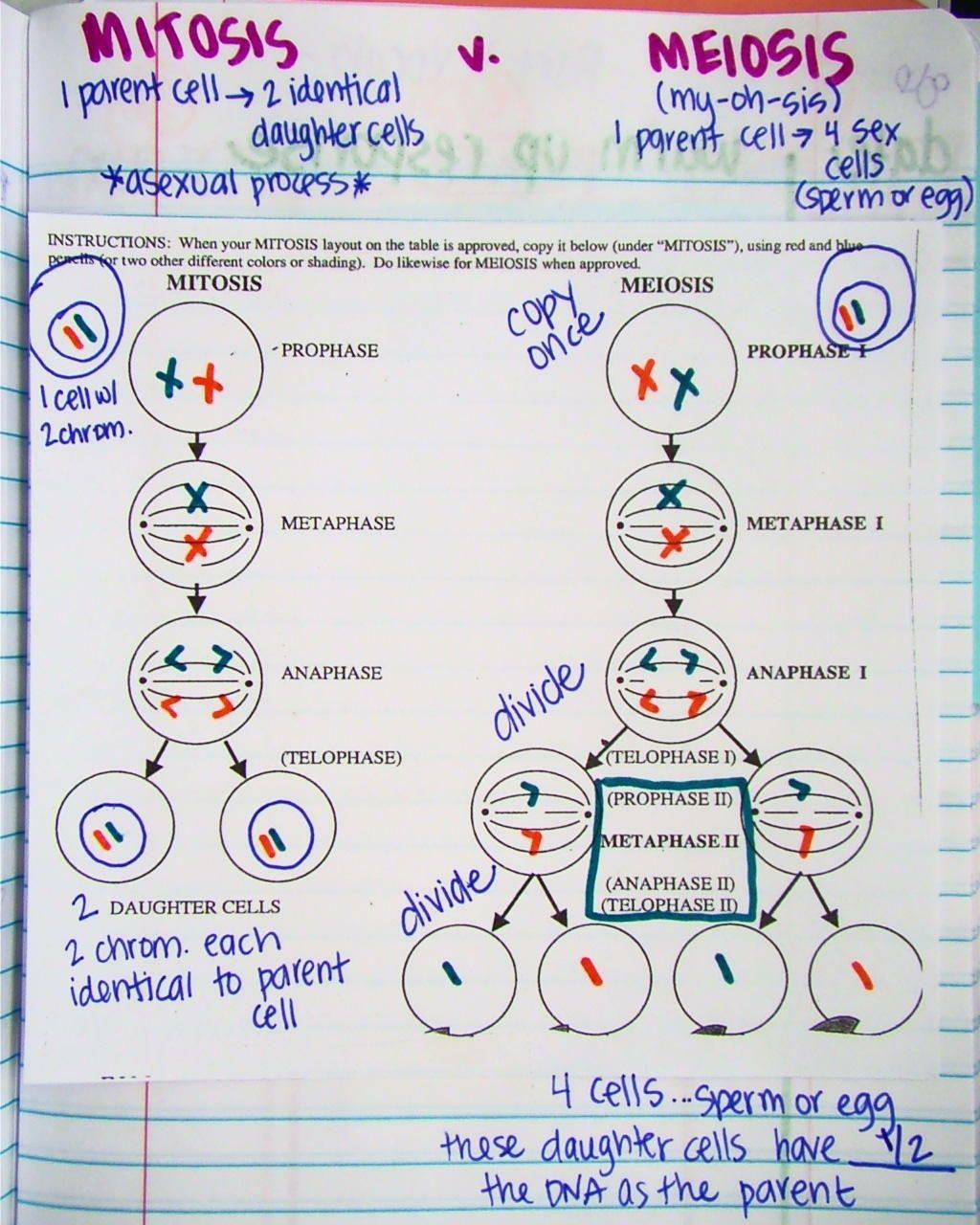 mitosis worksheet diagram 3 way light circuit wiring vs meiosis in notebook science skola genetik