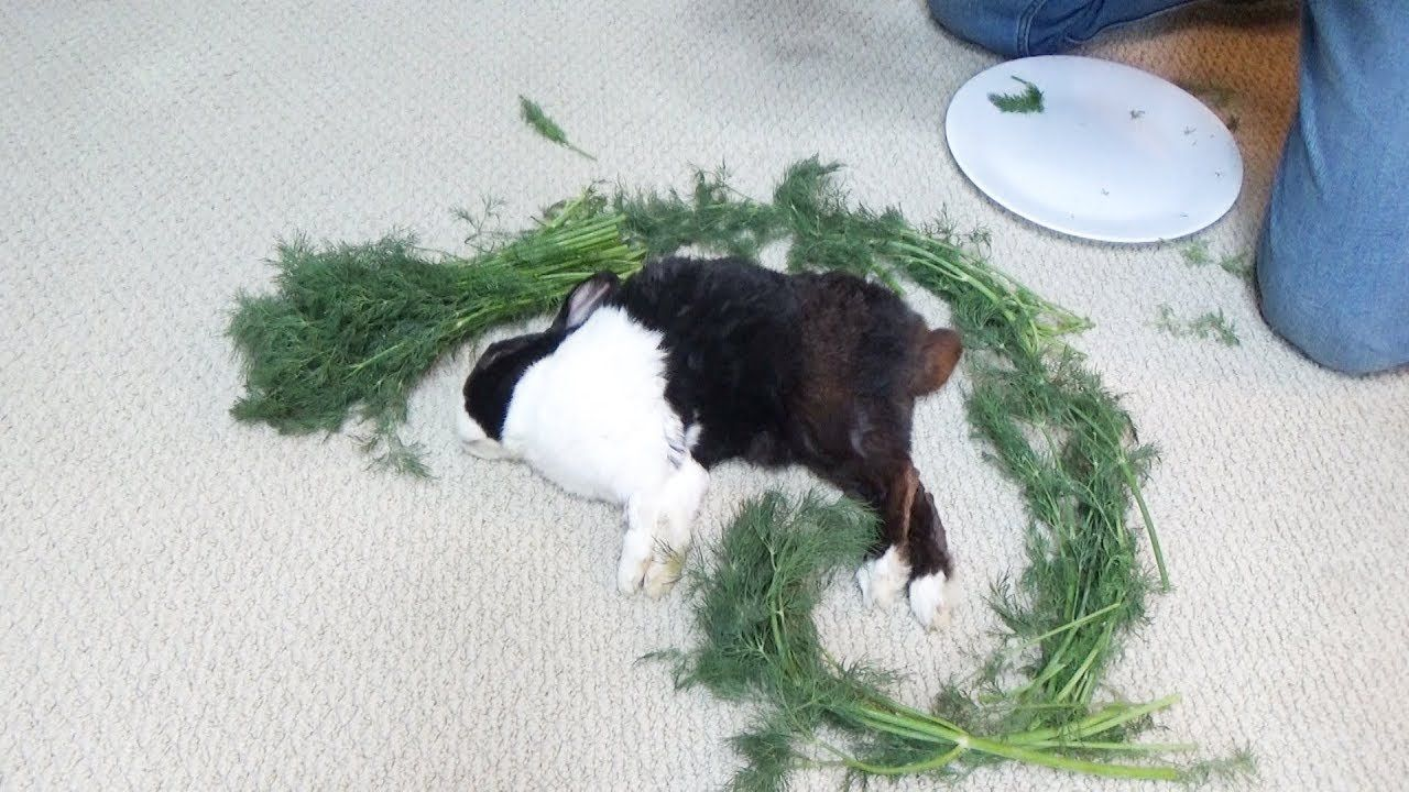 Waking A Sleeping Rabbit By Surrounding Him With Dill - YouTube