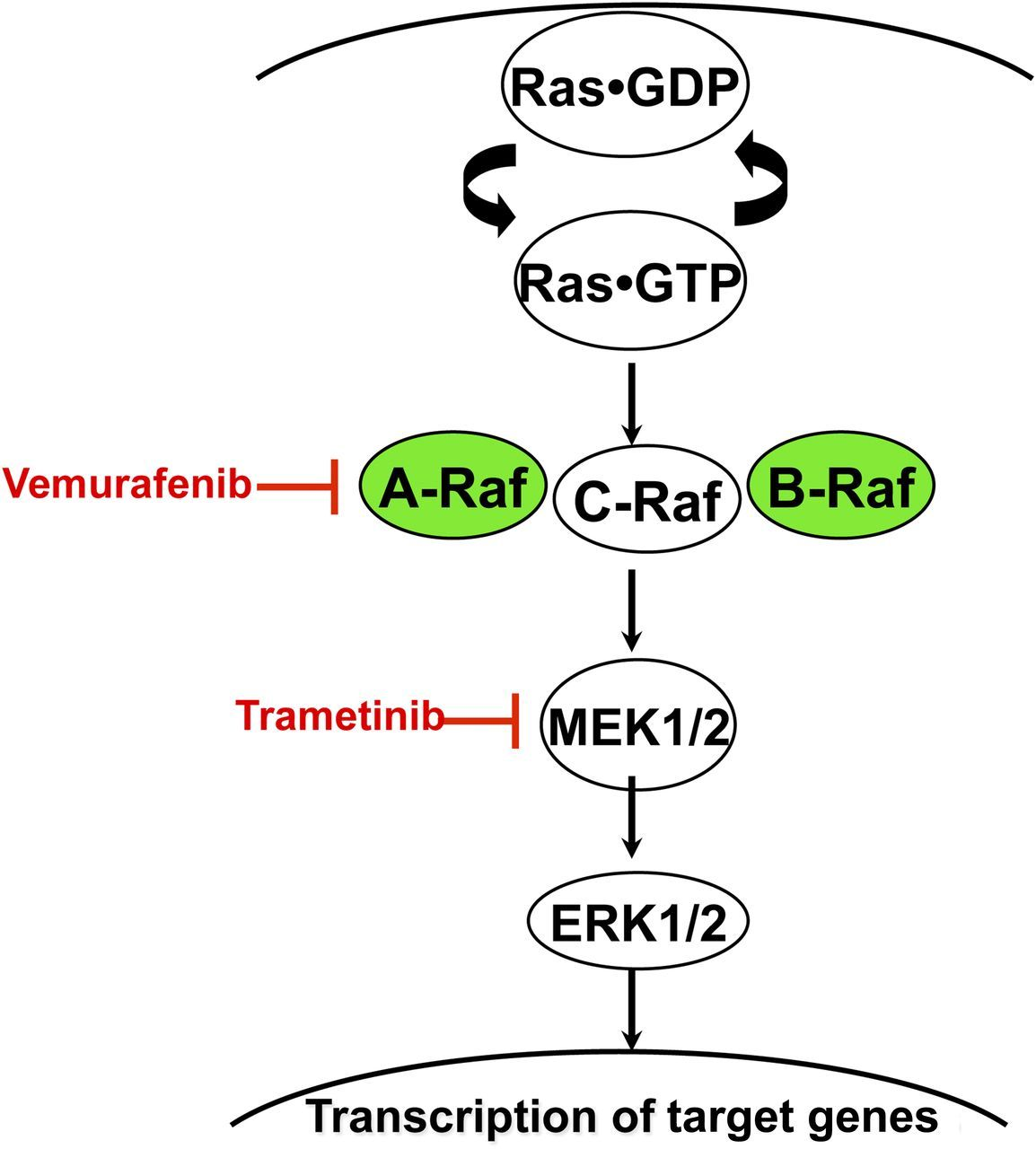 Ras Accumulates In The Active GTP-bound Conformation In