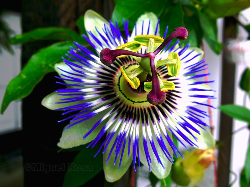 Passion Flower Colors Passion Flower Flowers Colorful Flowers