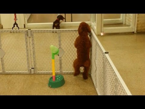 Viral Video Poodle Does Happy Dance After Seeing Owner Fox 8