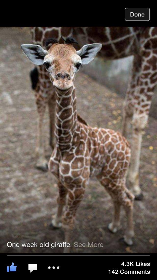 One week old giraffe Cute baby animals, Cute animals