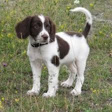 Image Result For Dalmatian Springer Dog Breeds Springer Spaniel Rare Dog Breeds