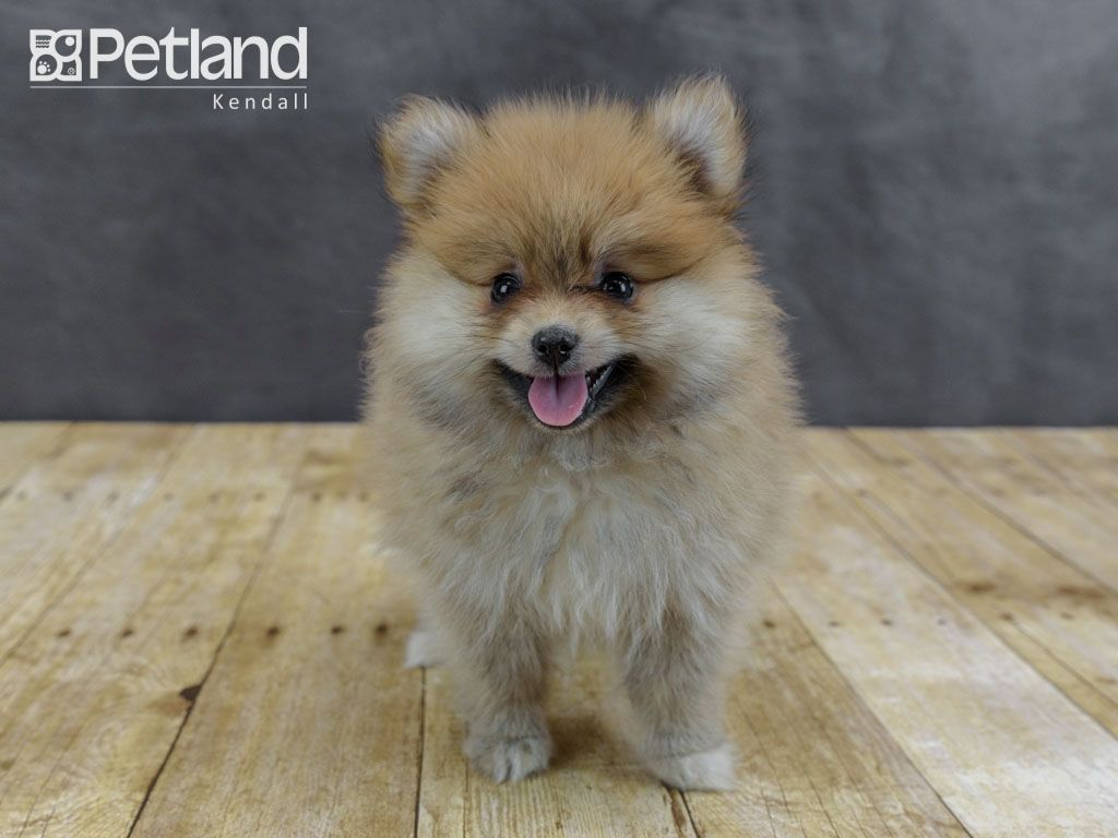 Puppies For Sale Puppy Friends Puppies