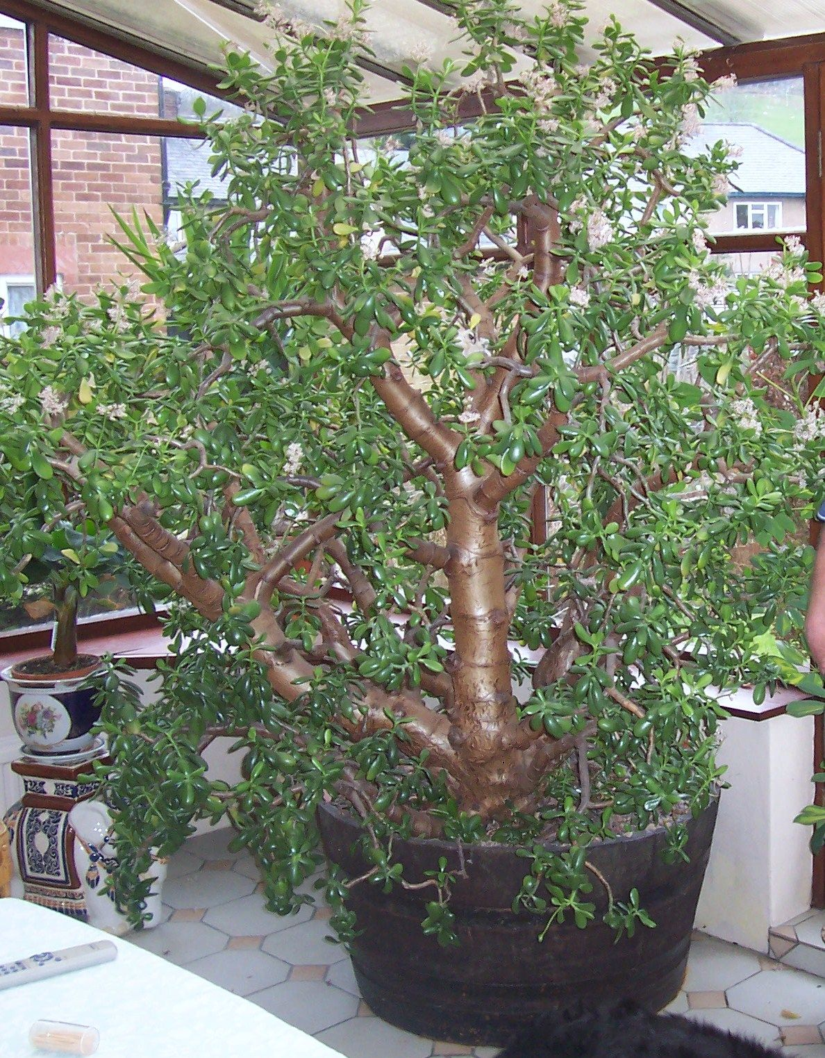 I Plan To Have Many Very Laegr Jade Plants Inside And Out My Mom Has Jade Trees All Around Her Yards Jade Plants House Plant Care Plants
