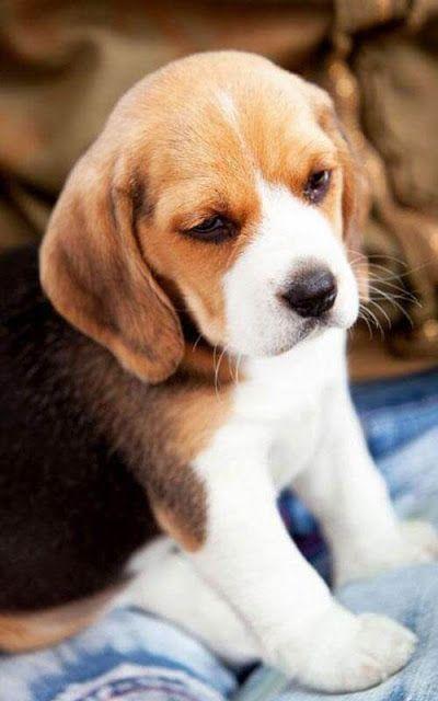 Beagle wallpaper catiolos e gatineos pinterest beagle beagle beagle wallpaper voltagebd Images
