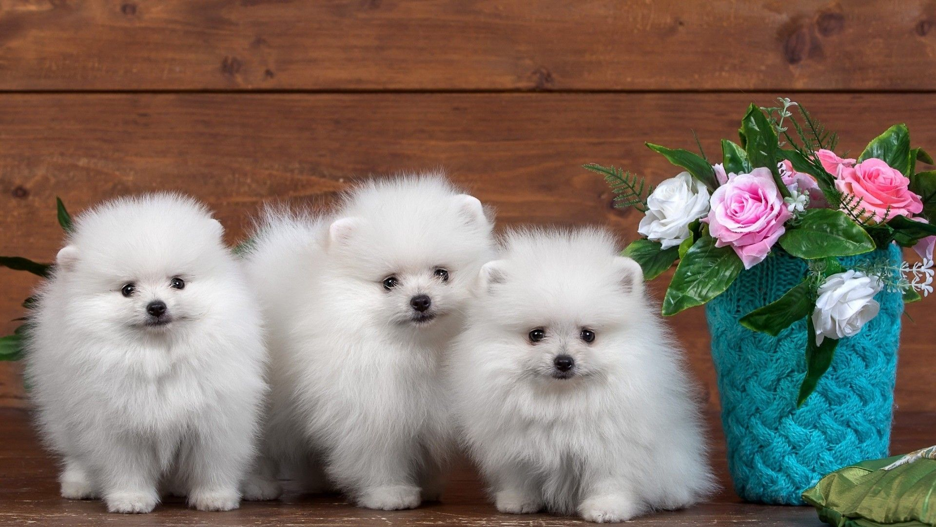 The Three Cute Spitz Dog Natural Picture 1920x1080 Need Iphone 6s Plus Wallpaper Background For With Images Cute Little Animals White Pomeranian Puppies Cute Dogs