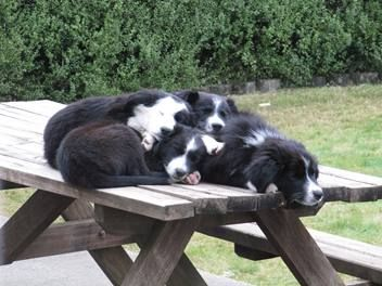 Dogs Pets Animals Collie Dog Collie Border Collie Dog