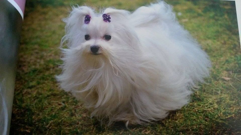 Pin By Sadie N Lucy On Aquawhite Bailey Martino And Sayia Maltese Dogs Maltese Puppy Teacup Puppies Maltese