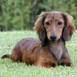 Sweet Baby Doxie Love Dachshund Puppies Dachshund Breed