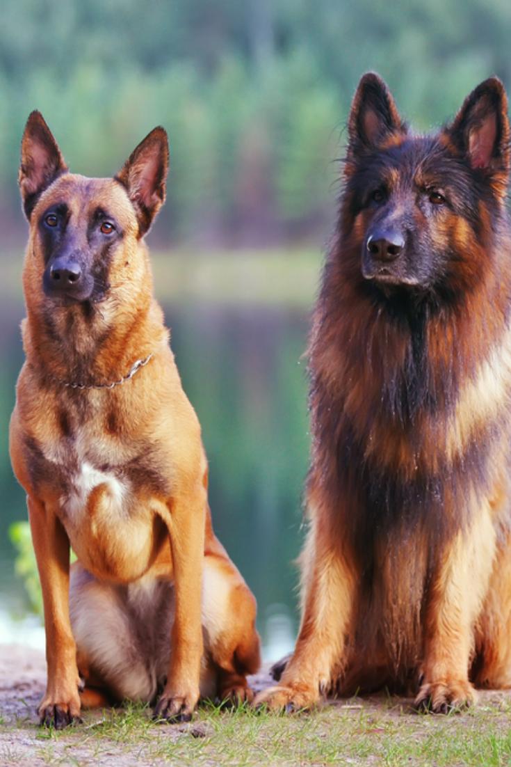 Belgian Shepherd Dog Malinois And Long Haired German Shepherd Dog