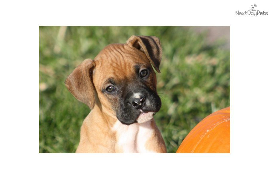 Boxer Puppy For Sale Akc Registered Male 8 Week Old Boxer Puppy