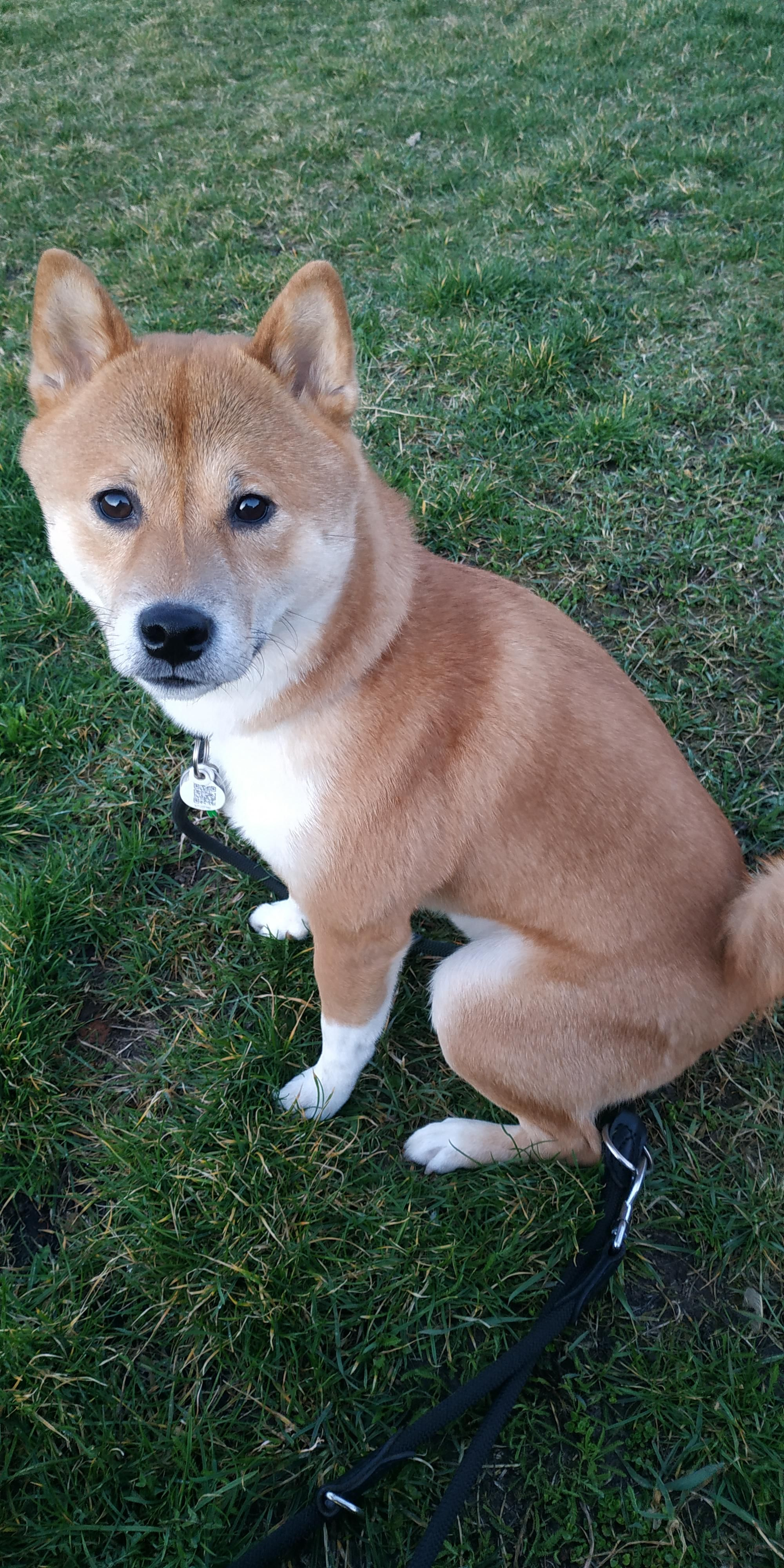 Today The Lucky Turned 2 Year Old Much Friday Very 13th Shibainu We 3 Shiba Inus 2020 柴犬 画像 動物 柴犬