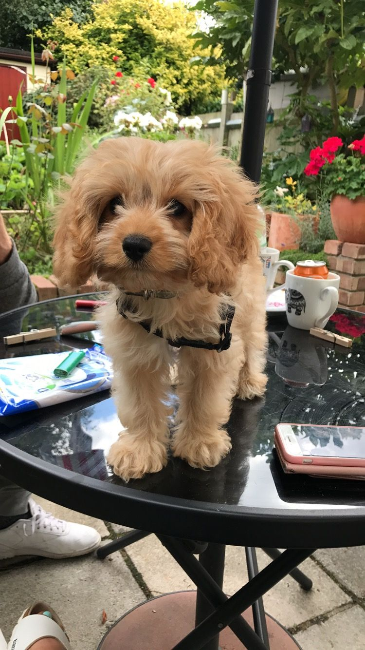 Cavapoo Puppy Very Cute Wearing His Harness Cavapoo Puppies Cavapoo Puppies