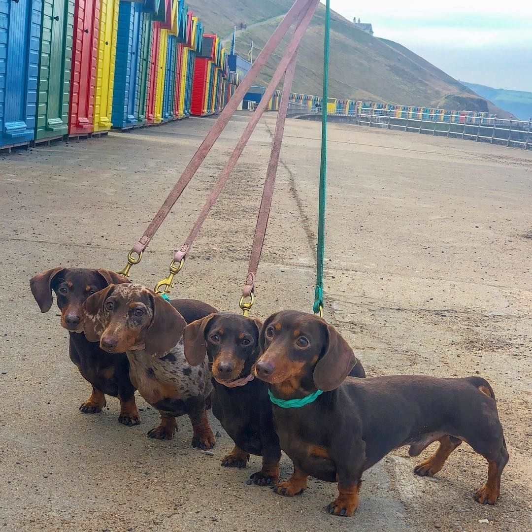 Dachshund Dog Squad Dachshund Squad Dachshund Dog Group Dachshund