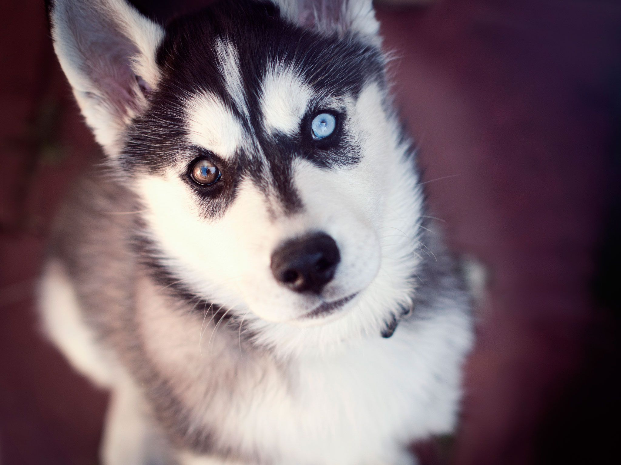 Husky Of Two Different Eyes Wallpaper Husky With Blue Eyes Cute