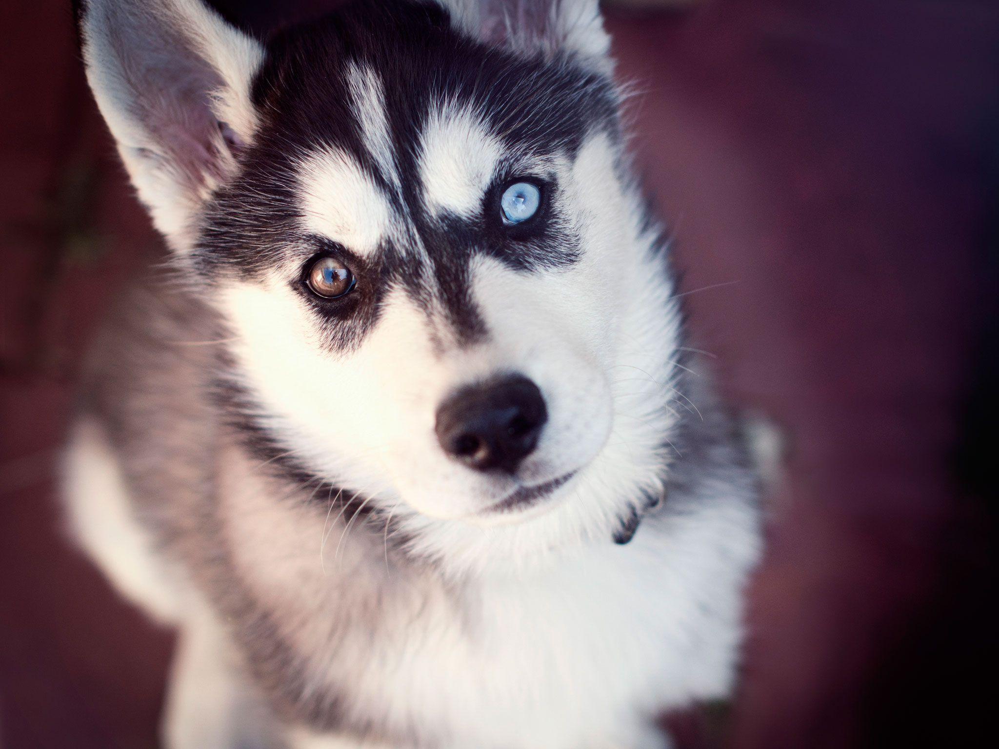 Husky of two different eyes wallpaper | Husky Love | Pinterest