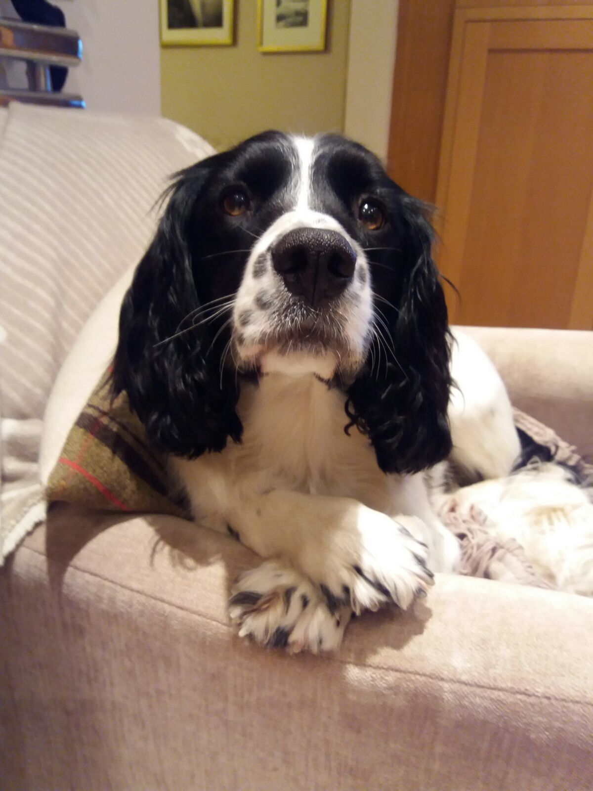 Pin By Emily Crenshaw On All About Springer Spaniels Springer Puppies Spaniel Dog Dogs