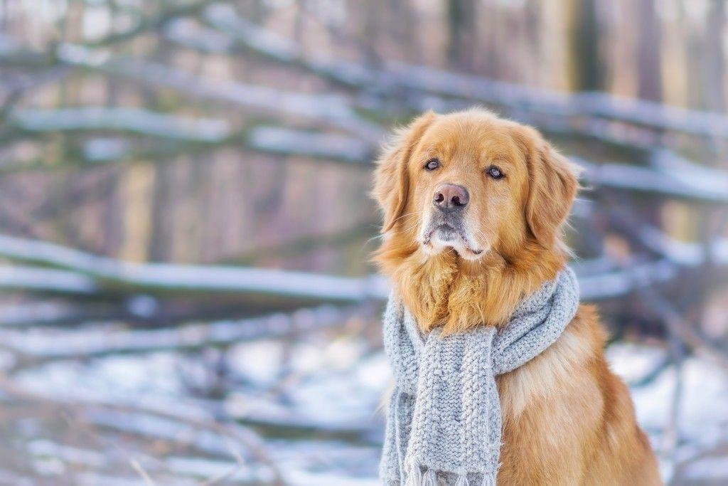 Golden Retriever Dog Animal Calm Winter Scarf Wallpaper