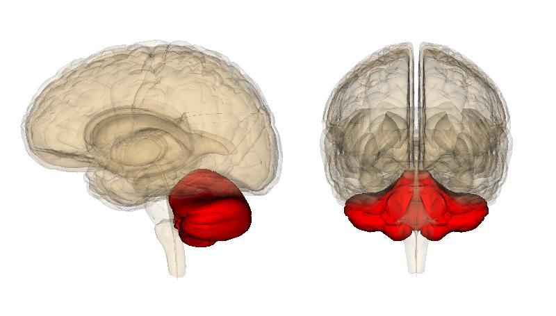New Research Has Found The Cerebellum The Brains Movement Control