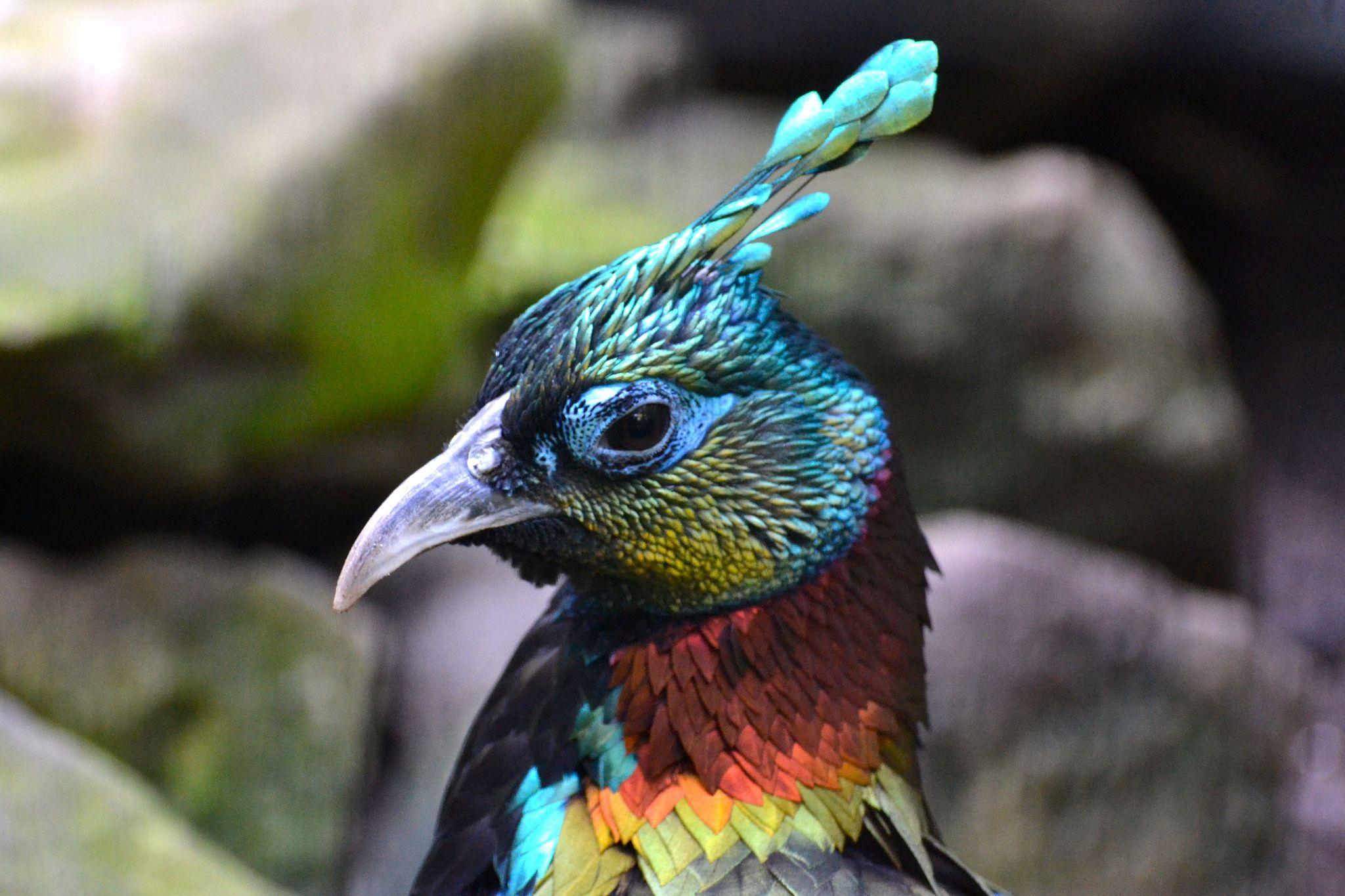 Himalayan Monal | pheasants | Bronx zoo, Pheasant, Birds