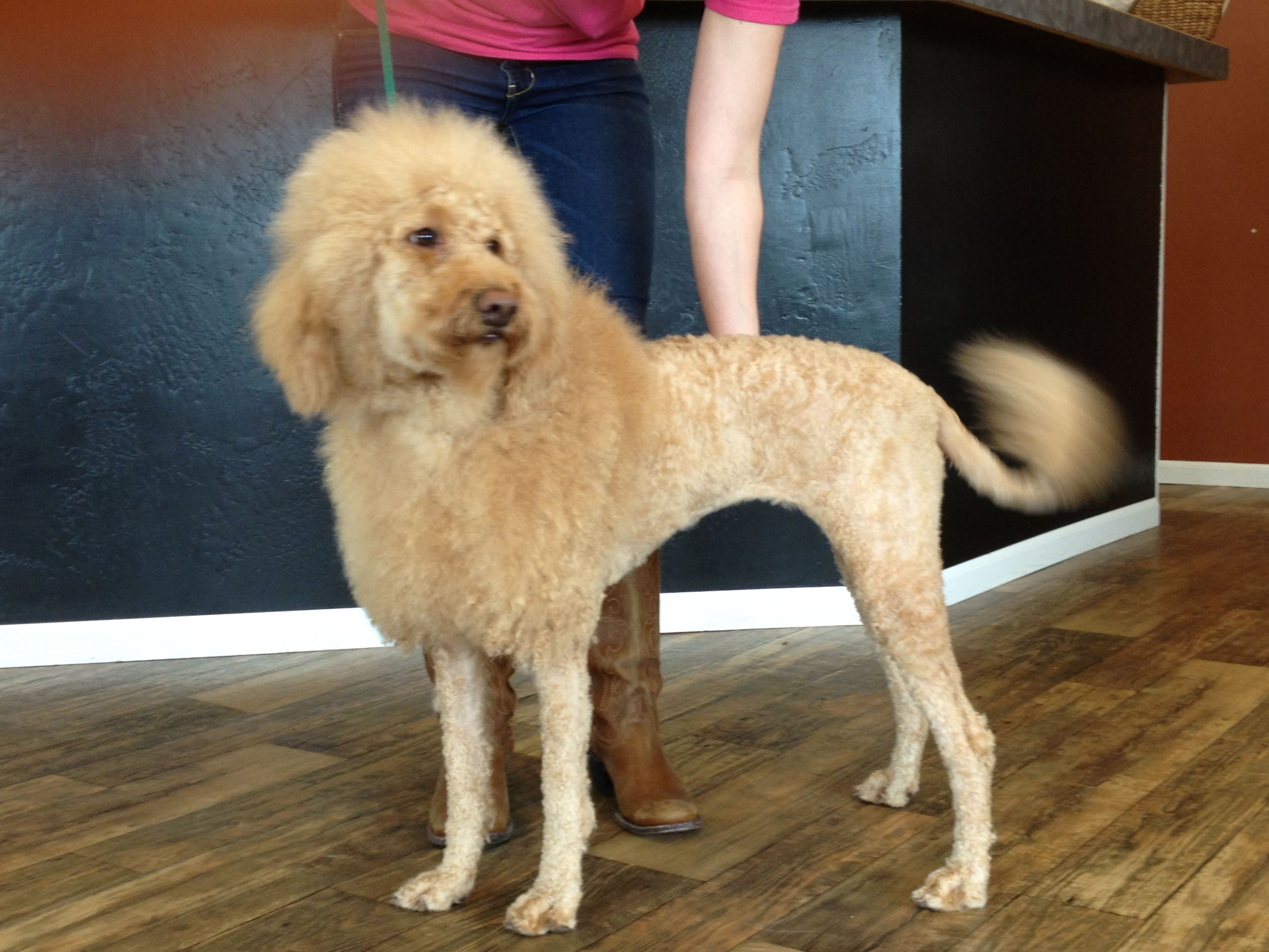 O Dog Hairstyle: The Lion Cut On A Goldendoodle