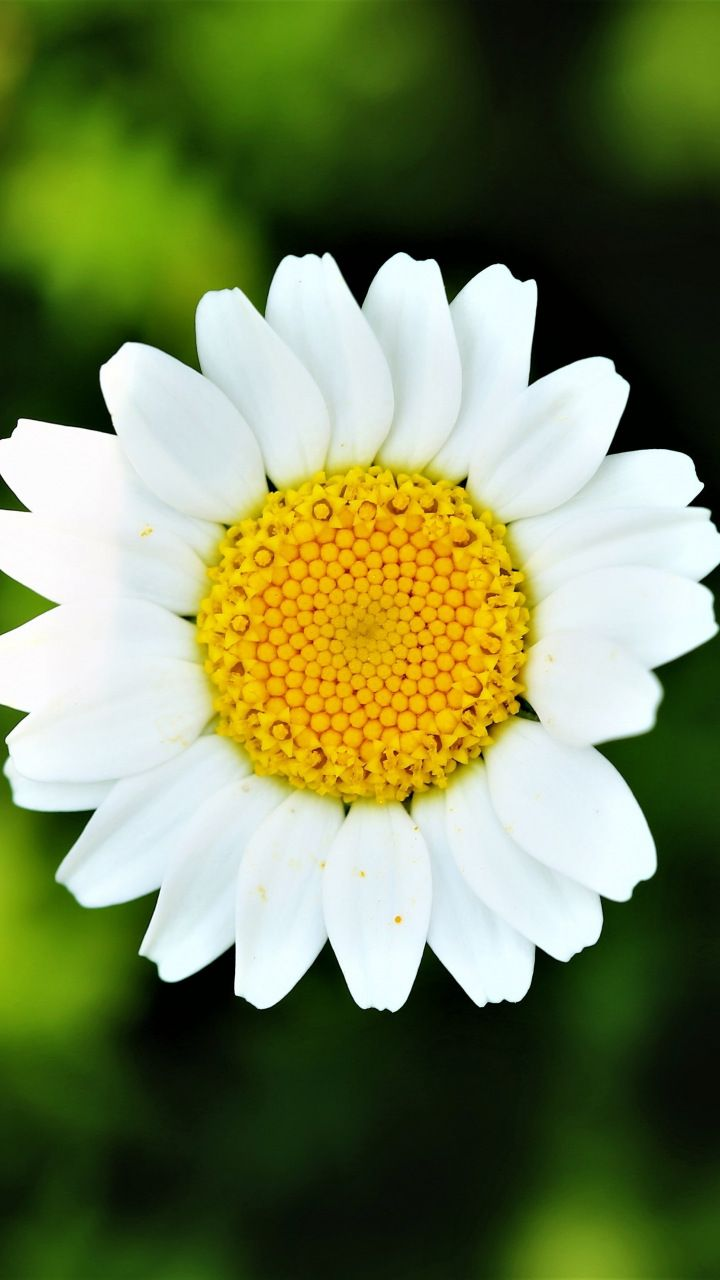 Nature Bloom Daisy Flower 720x1280 Wallpaper Flowers