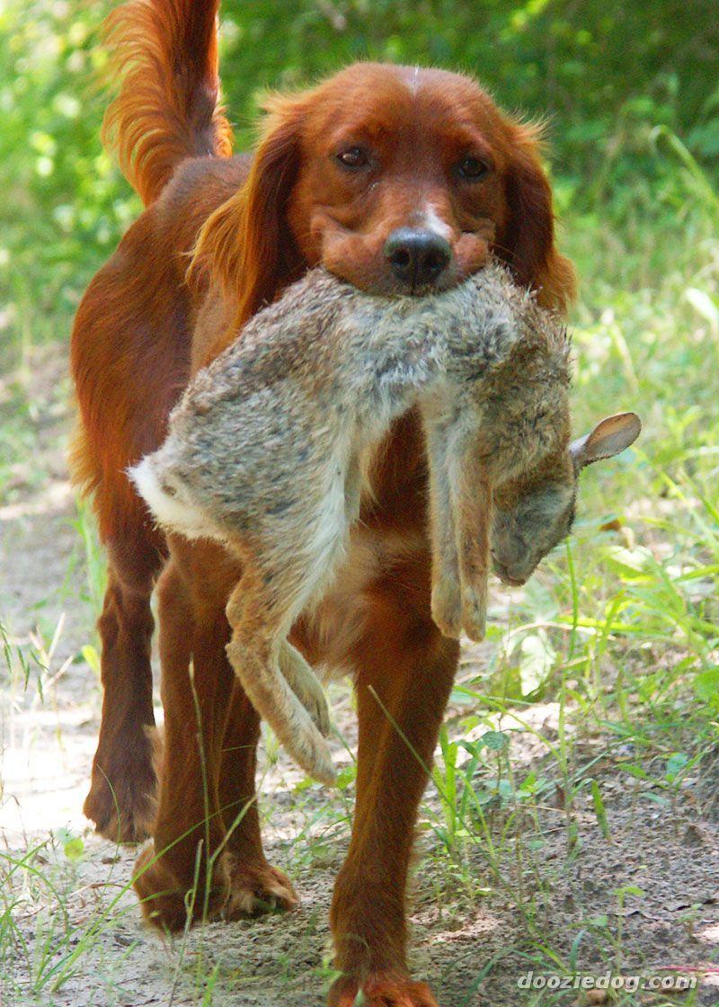 My dream dog. An Irish setter Irish setter, Hunting dogs