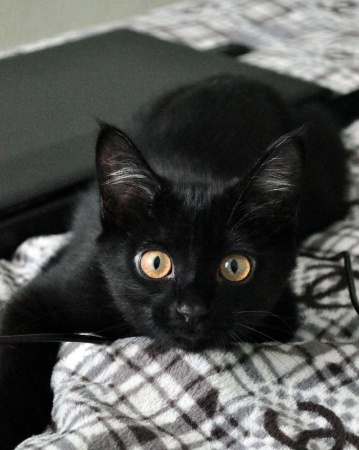 Cat Fact Cats Eyes Come In Three Shapes Round Slanted And Almond Cute Black Cats Black Cat Cute Cat Gif