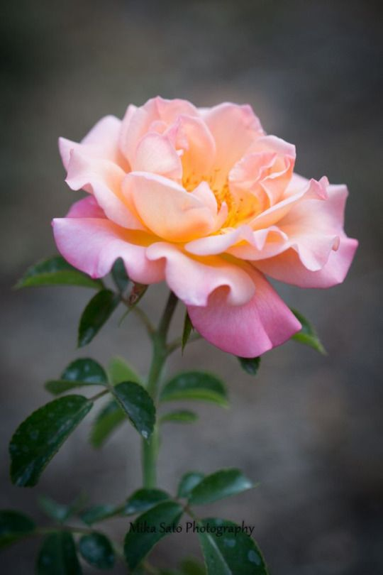 Beauty Rendezvous Hybrid Tea Roses Rose Pretty Flowers