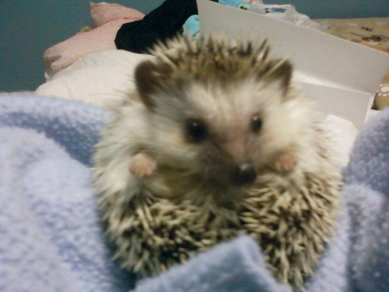 Pet hedgehog.. Best exotic pet :) | Hedgehogs!!! | Pinterest