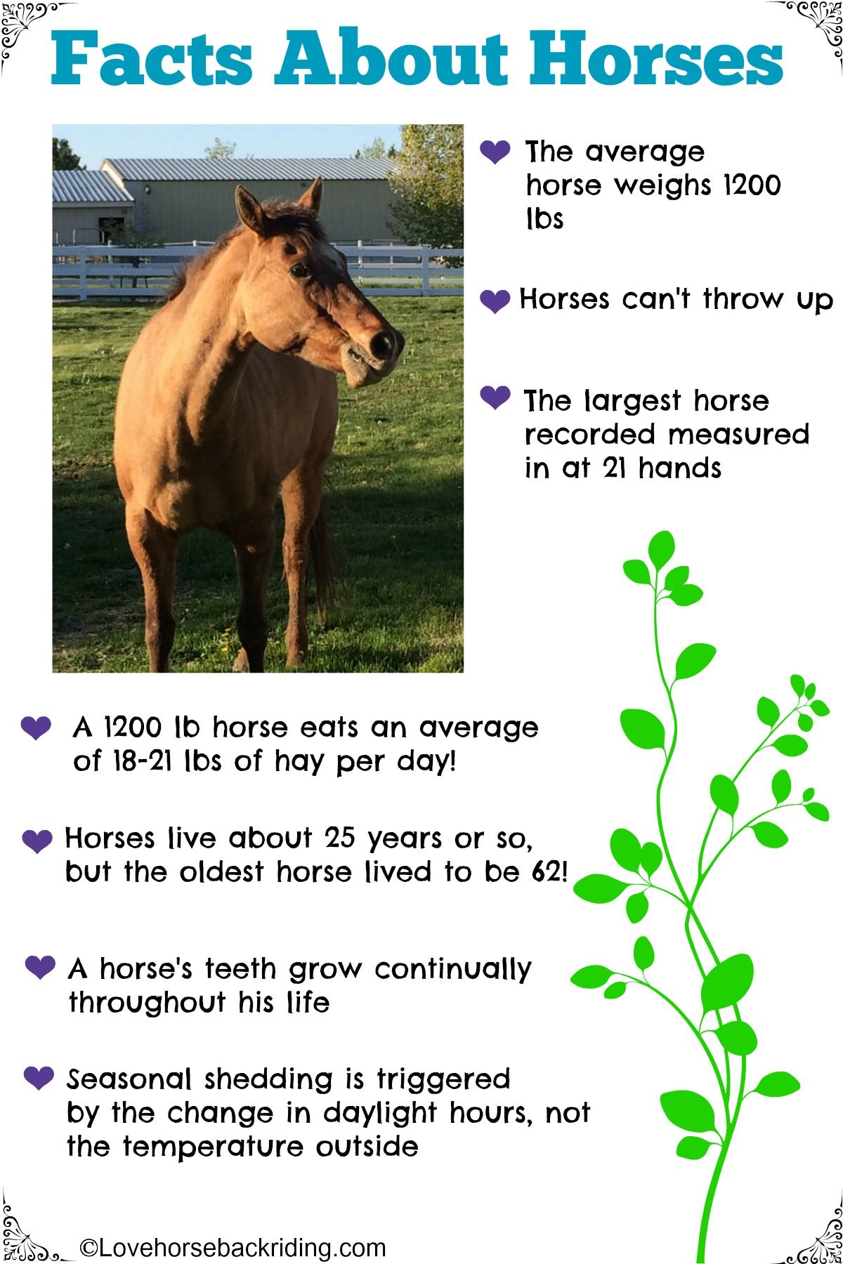 Check out these fun facts about horses! How much hay does ...