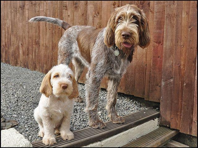 Spinone Italiano / Italian Griffon | Cute dogs, Puppies