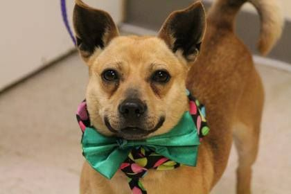 NAME: Kenlar ANIMAL ID: 24971665 BREED: Chi mix SEX: male EST. AGE: 2 yr Est Weight: 21 lbs Health: heartworm neg Temperament: dog friendly, people friendly. ADDITIONAL INFO: RESCUE PULL FEE: $49 Intake date: 2/13 Available: Now