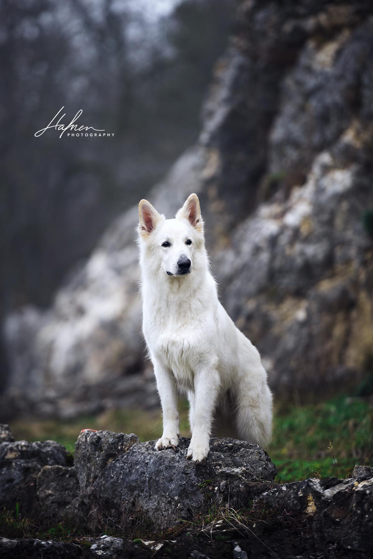 Schweizer Weisser Schaferhund Steht In Steinlandschaft Hund Bilder Foto Fotografie Fotoshooting Hundef In 2020 Weisser Schaferhund Hunde Bilder Schaferhunde