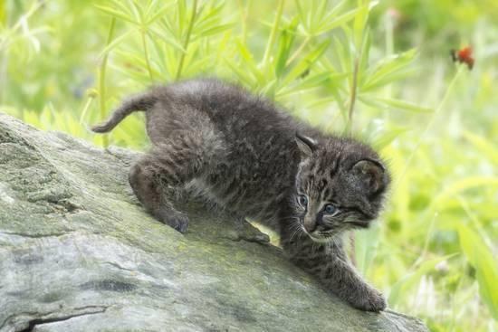 Minnesota Sandstone Bobcat Kitten On Top Of Log In Spring Grasses Photographic Print By Rona Schwarz Bobcat Kitten Kittens Animals Wild