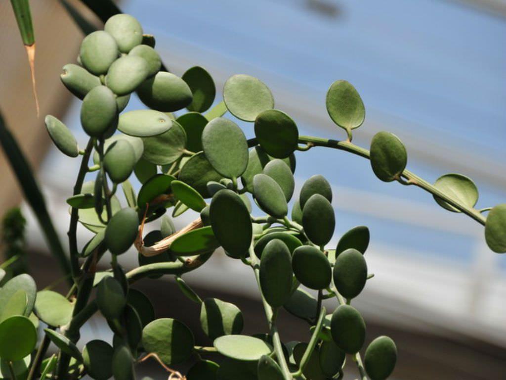Xerosicyos Danguyi   Silver Dollar Plant A Climbing Vine With Cylindrical  Stemsu2026
