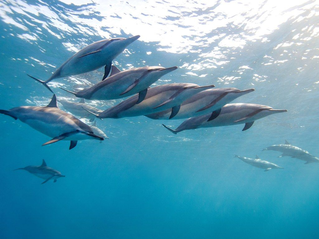 15 Reasons To Visit Hawaii Right Now Dolphin Wallpaper Dolphins Animal Wallpaper Full hd dolphin wallpapers hd desktop