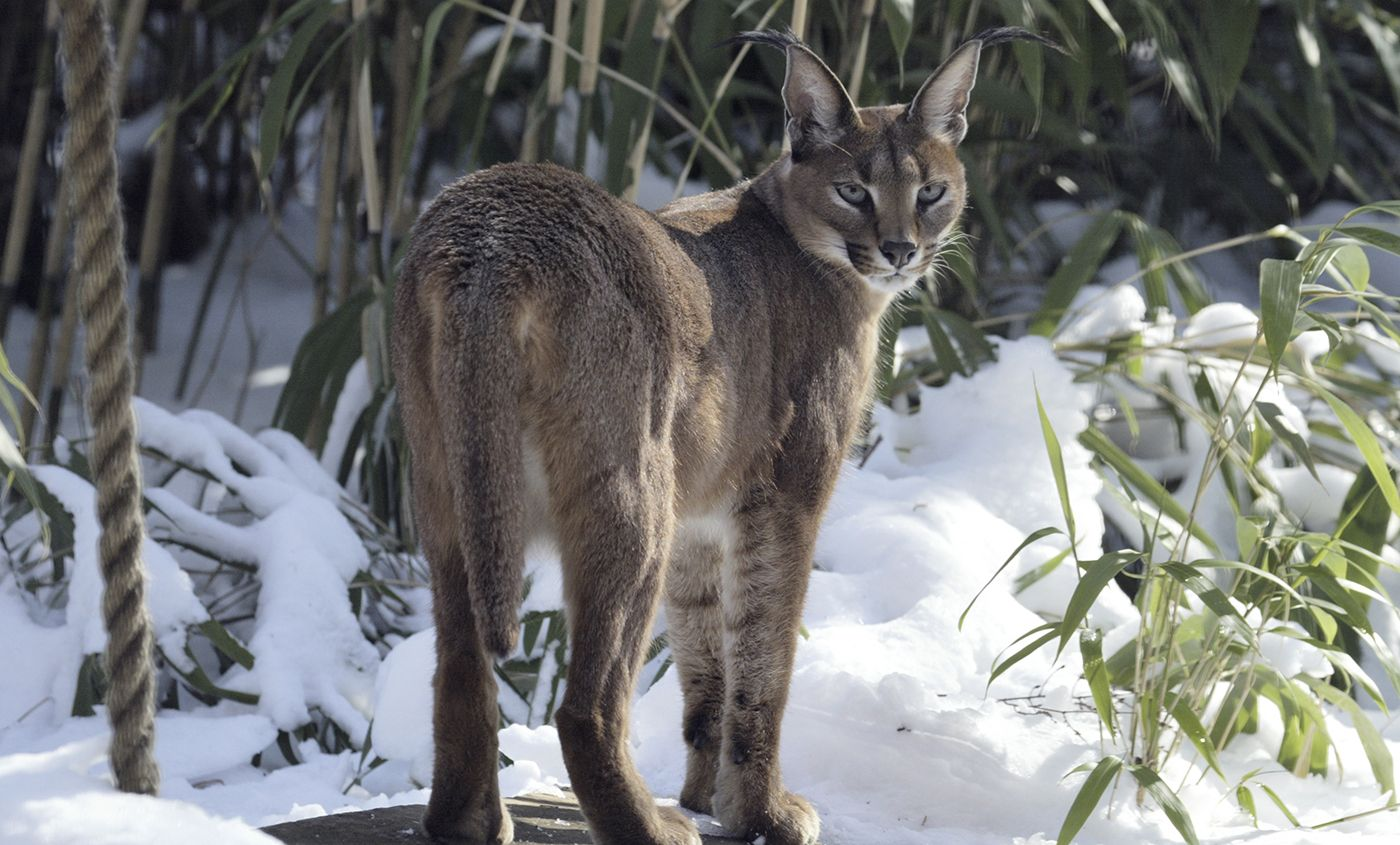 Image result for caracal in the snow Caracal, Caracal