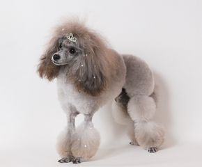 Toy Poodle Saddle Clip プードルカット プードル 可愛い犬
