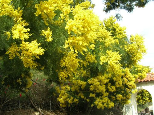Acacia decurrens common wattle or green wattle is an evergreen tree yellow flowers acacia decurrens common wattle or green wattle is an evergreen tree with olive green mightylinksfo