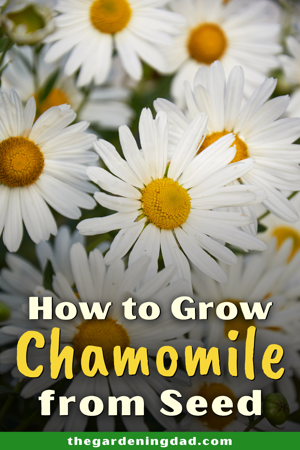 10 Easy Tips How To Grow Chamomile The Gardening Dad Chamomile Growing Chamomile Plant Planting Herbs