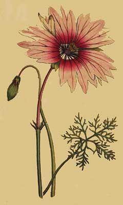 Monsonia speciosa. Large-flower'd Monsonia.