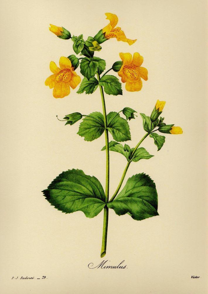Botanical Flower Print Monkey Flower Gallery Wall Art Farmhouse ...