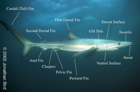 Mr Joanides Wiki Pages Licensed For Non Commercial Use Only Fish 5 Shark Underwater Life Ocean Mammal