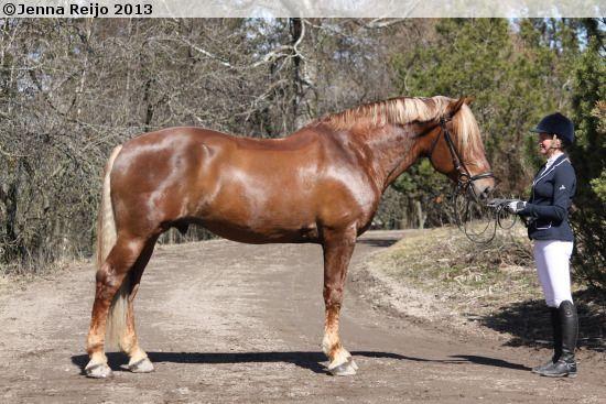 Finnhorse - stallion Herkko Hurmaus