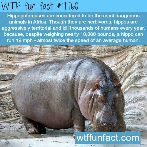 10 incredible hippopotamuses facts you probably never knew