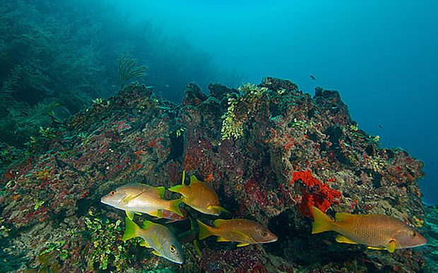 Great Barrier Reef fish populations 'restored to pre-European settlers levels' - Telegraph - marine sanctuary program effective