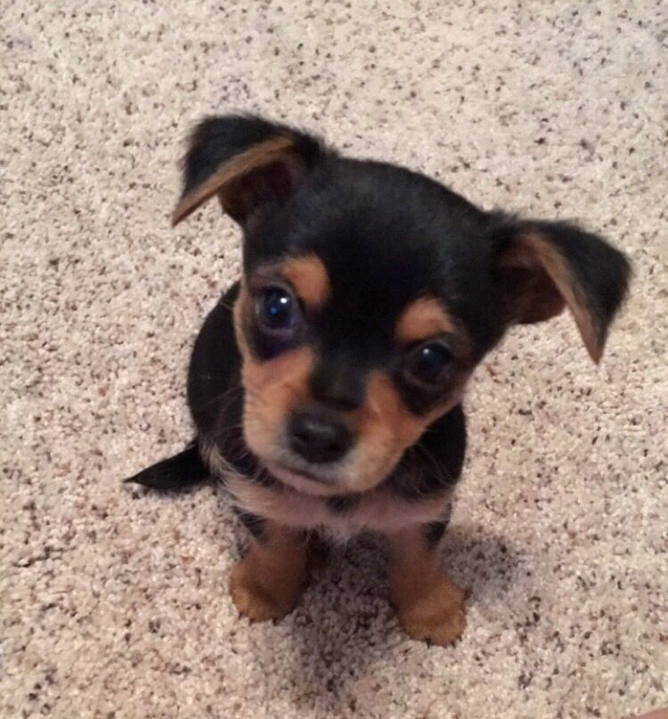 Chorkie Puppy Puppies And Kitties Super Cute Animals Chiweenie